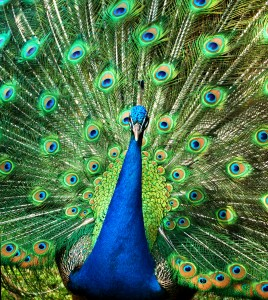 individual-peacock